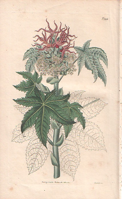 curtis botanik kupferstich rizinus 1827 ebay. Black Bedroom Furniture Sets. Home Design Ideas